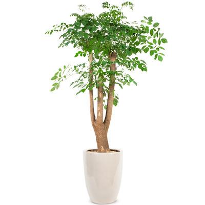 행복나무(특)