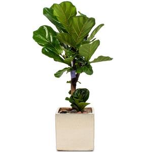 떡갈고무나무(小)