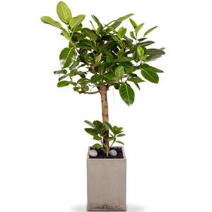 고급뱅갈고무나무